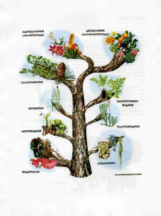 классификация растений схема.