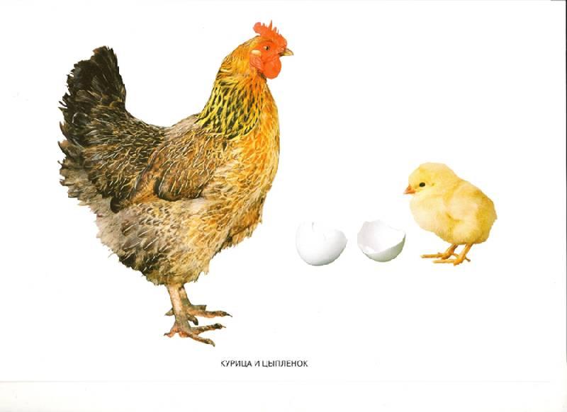 Мир в картинках: Домашние птицы (3-7 лет) Мозаика-Синтез.  Отзывы.