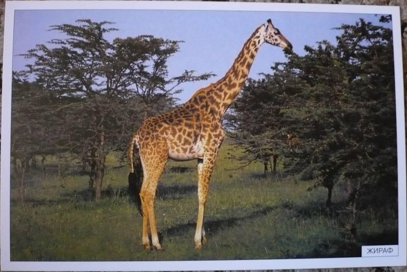 жираф звуковая схема слова