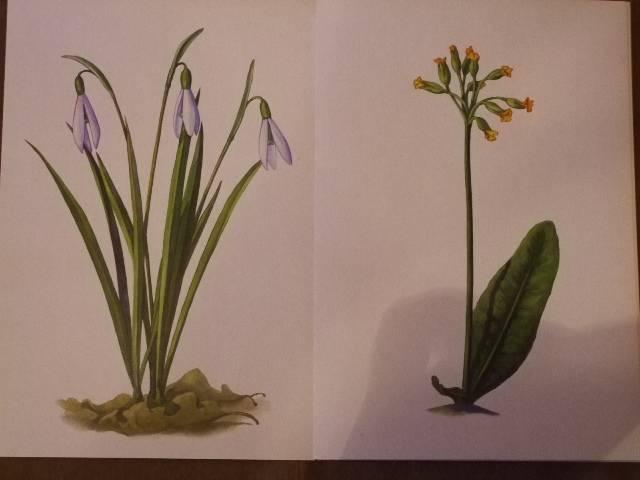Иллюстрация 1 из 3 для Первоцветы. Демонстрационный материал для фронтальных занятий.   Лабиринт - книги. Источник: *  Надежда