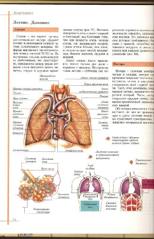 Иллюстрация 1 из 3 для Атлас анатомии и физиологии человека - Ю. Баклакова | Лабиринт - книги. Источник: Kaplan  Irma