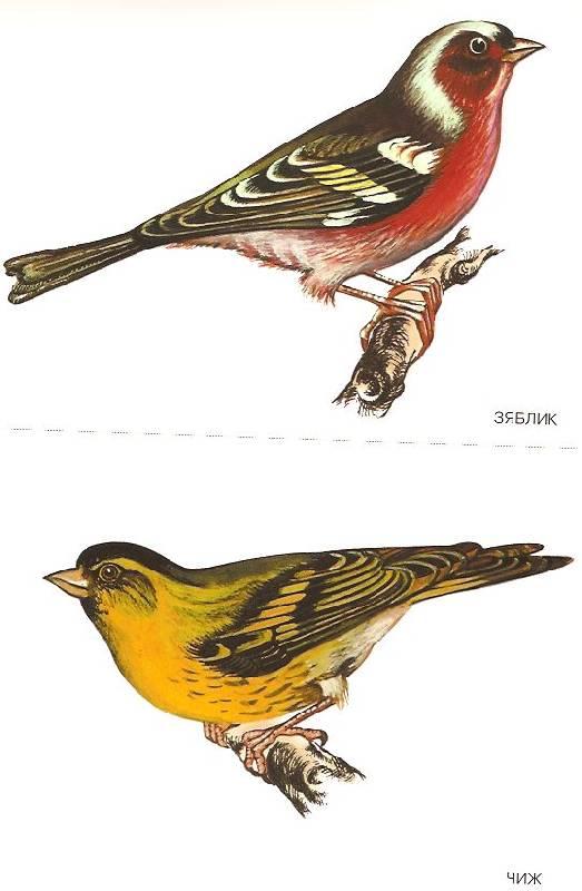 Мир в картинках: Птицы средней полосы (3-7 лет): фото.