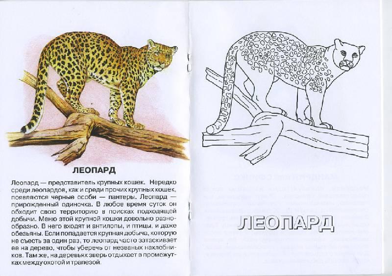 Иллюстрация 1 из 4 для Леопард. Живой мир Африки | Лабиринт - книги. Источник: Pallada