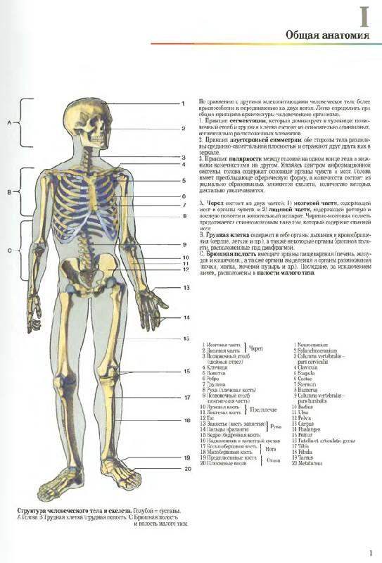 анатомия человека в картинках - картинки.