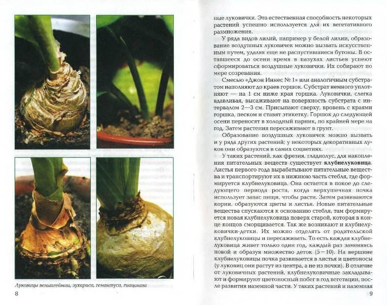 Иллюстрация 1 из 21 для Луковичные и клубневые растения - Е.К. Беляевская | Лабиринт - книги. Источник: enotniydrug