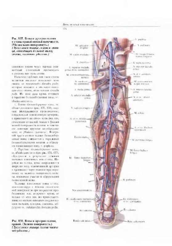 Схема расположения вен ноги