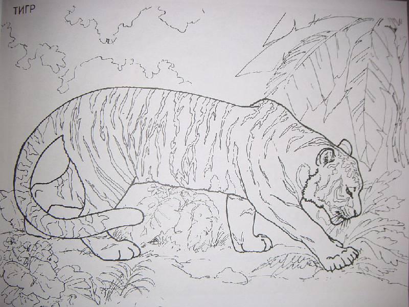 Раскраски больших диких кошек
