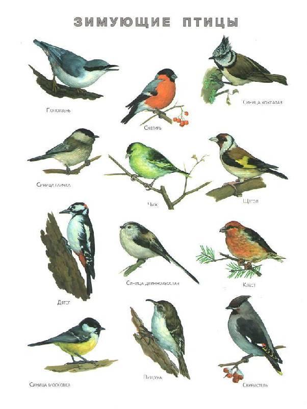 знакомство детей с перелетными птицами для детей