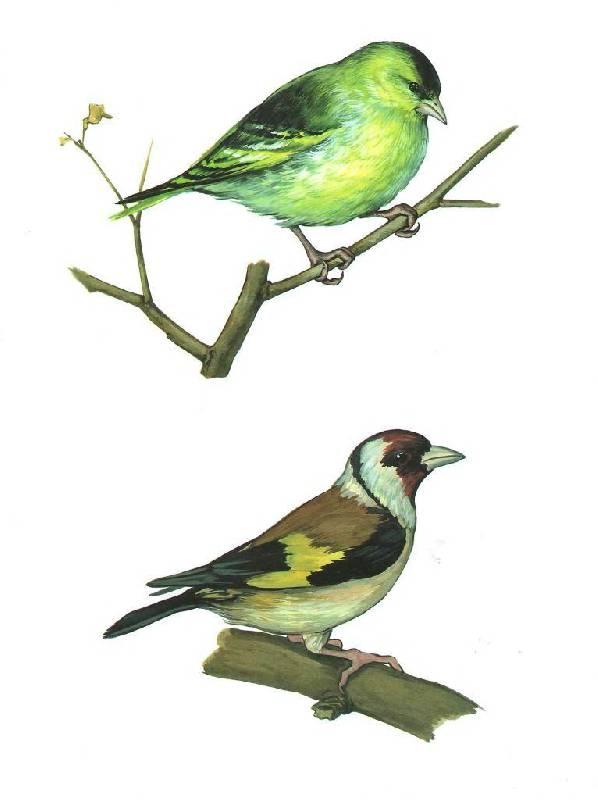 Щегол - одна из самых красивых птиц, часто встречающихся в наших лесах.