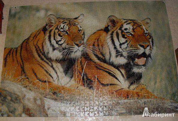 Иллюстрация 1 из 4 для Puzzle-1000. Тигры (С-100880) | Лабиринт - игрушки. Источник: Klementinka