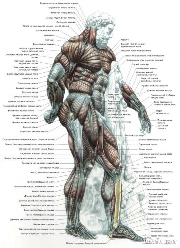 Общая анатомия.  Строение скелета человека.