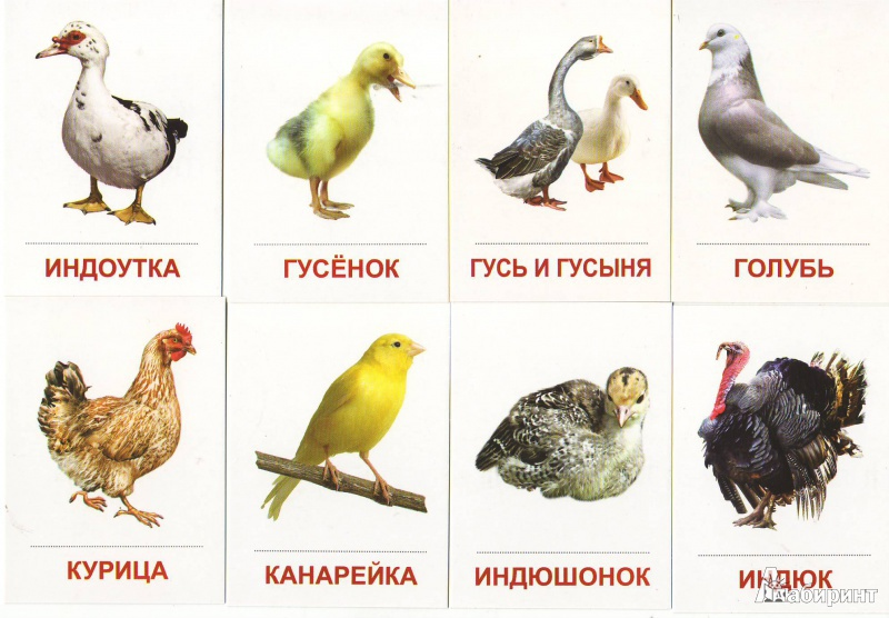 Домашние и декоративные птицы