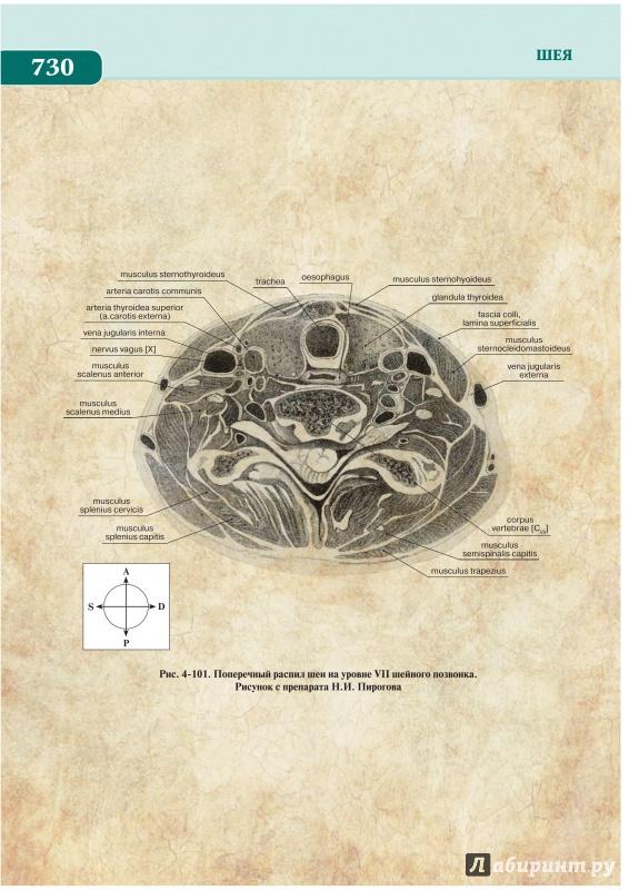 Иллюстрация 1 из 5 для Анатомия по Пирогову. Атлас анатомии человека. В 3-х томах. Том 2: Голова. Шея - Шилкин, Филимонов | Лабиринт - книги. Источник: Веляев  Павел