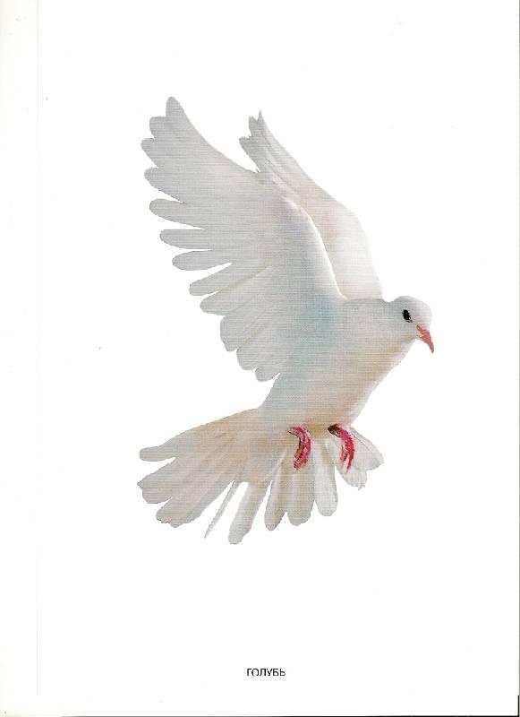 Иллюстрация 1 из 2 для Мир в картинках: Домашние птицы. 3-7 лет | Лабиринт - книги. Источник: farnor