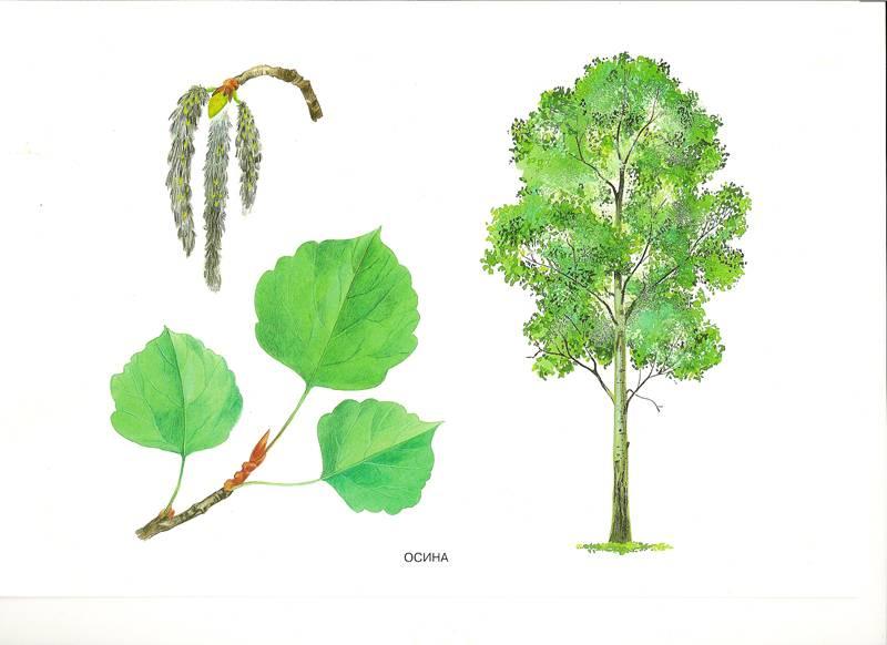 Деревья 7 лет