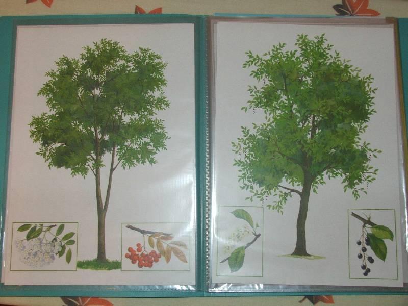 Иллюстрация 1 из 10 для Деревья. Демонстрационный материал для фронтальных занятий | Лабиринт - книги. Источник: Сороконожка