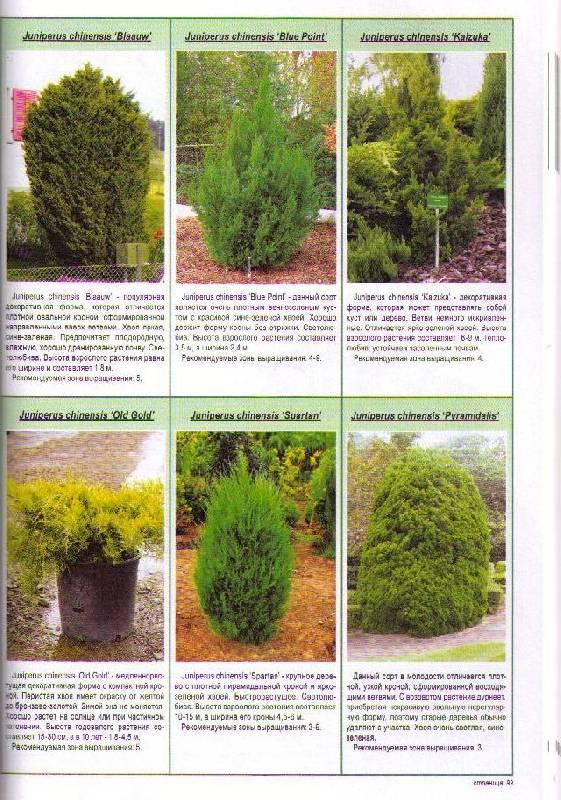 Иллюстрация 1 из 11 для Все о самых популярных хвойных растениях - Неер Ян Ван дер | Лабиринт - книги. Источник: In@
