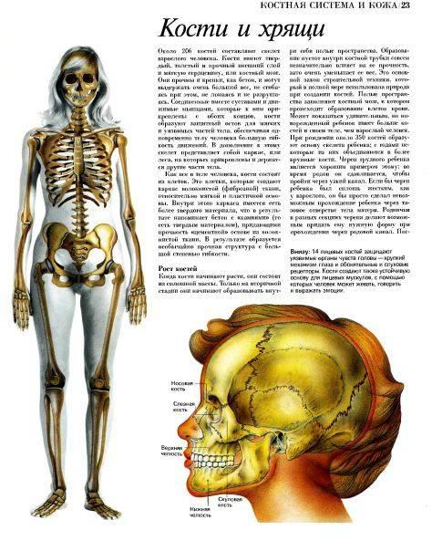 скелет человека название костей самое