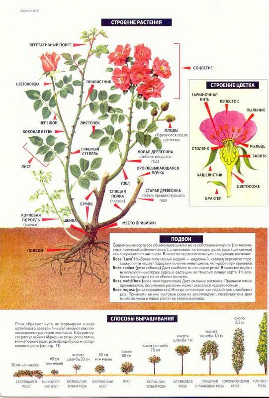 Иллюстрация 1 из 4 для Все о розах (одна роза) - Дэвид Хессайон   Лабиринт - книги. Источник: Ялина