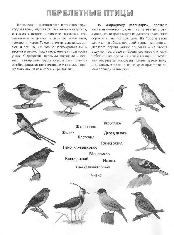 Перелетные птицы в картинках для детского сада