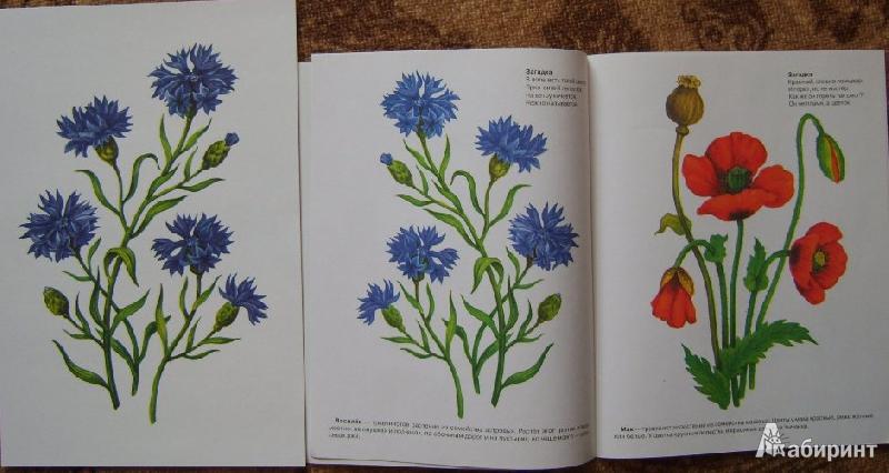 Нарисованные цветы полевые