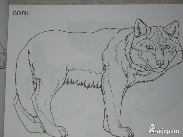Иллюстрация 1 из 9 для Изучаем и раскрашиваем. Дикие животные. Россия   Лабиринт - книги. Источник: Iwolga
