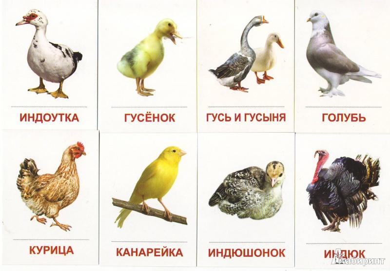 птицы домашние фото