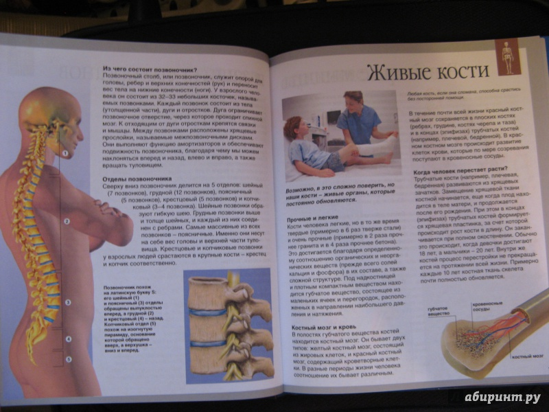 Шпаргалки По Анатомии Кости