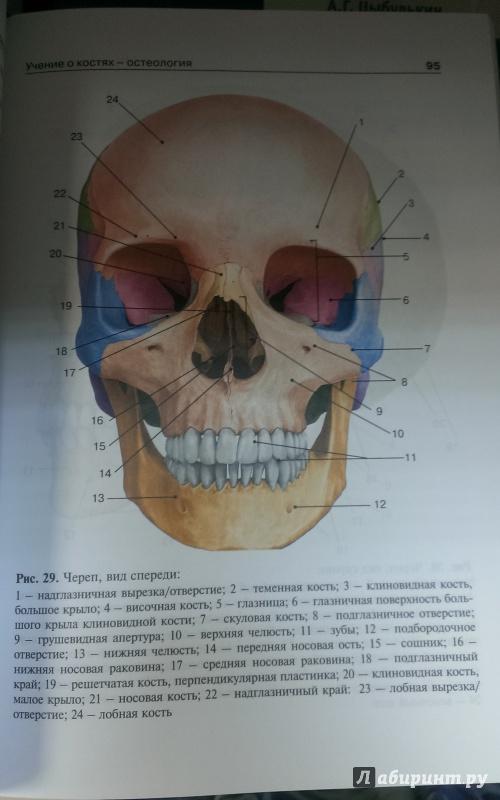 Михайлов Анатомия Для Стоматологов Скачать