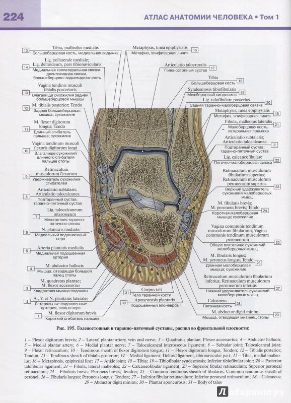 рынок атлас билича по анатомии 1 том купить спб вентфасадов обусловлена тем