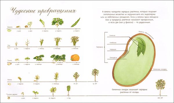 Иллюстрация Сильвии Лонг к книге «Что снится семечку»