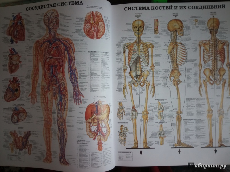 Картинки, анатомия человека с картинками и надписями