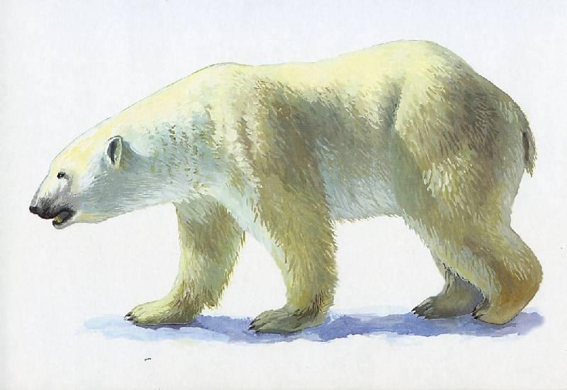 Картинки для детей животных холодных стран для дошкольников