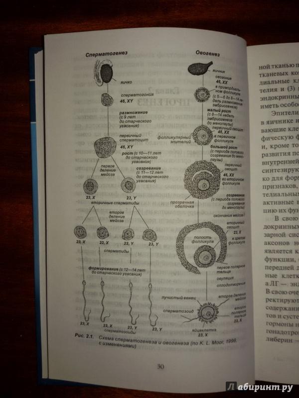 Иллюстрация 7 из 37 для Эмбриология. Учебное пособие - Студеникина, Слука | Лабиринт - книги. Источник: olegiv