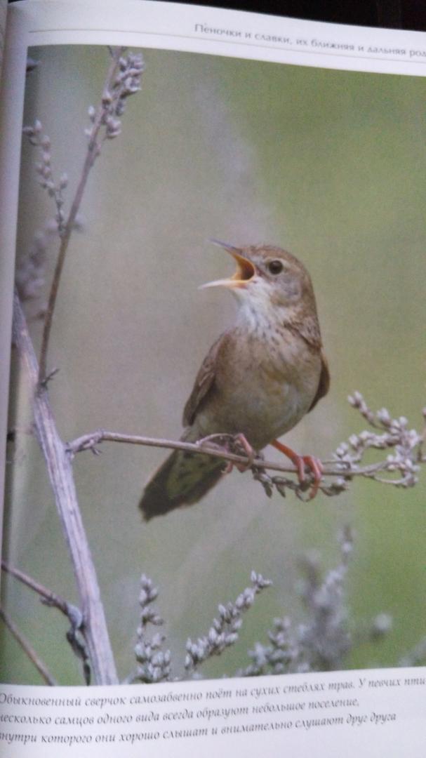 Иллюстрация 6 из 51 для Лесные птицы России - Константин Михайлов | Лабиринт - книги. Источник: Galinka