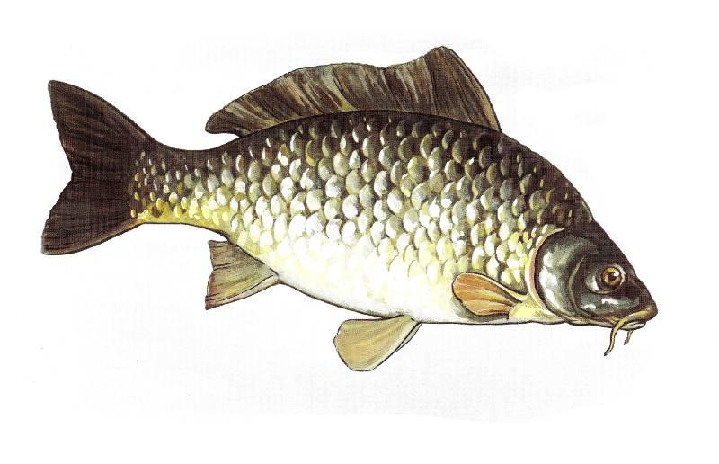рисунки речных рыб картинки нескольких