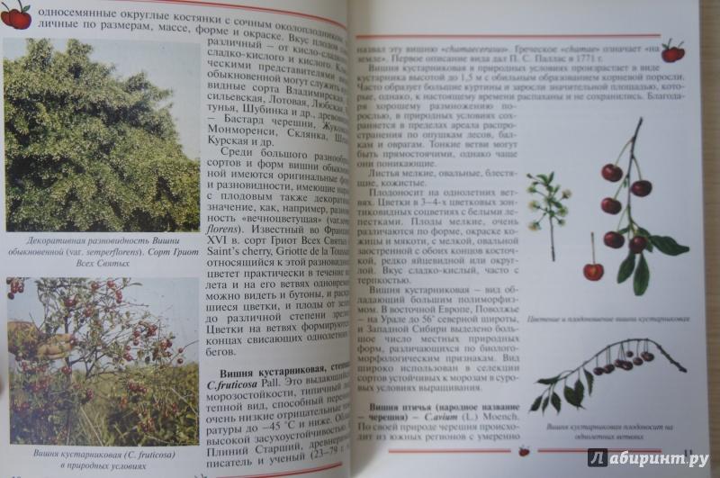 Иллюстрация 2 из 33 для Вишня, черешня. Пособие для садоводов-любителей - Еремина, Юшев | Лабиринт - книги. Источник: Синявина Ольга Анатольевна
