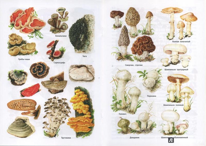 том, фото и названия всех видов грибов медард