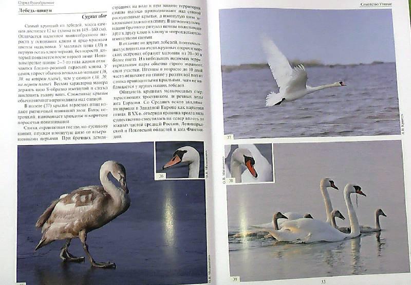 Птицы европейской части россии атлас определитель калякин
