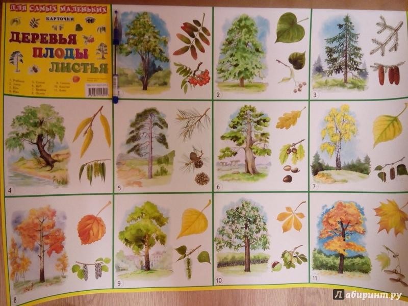 самом картинки плодов деревьев с названиями этом