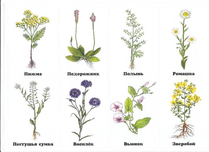 Цветы полевые и луговые картинки с названиями