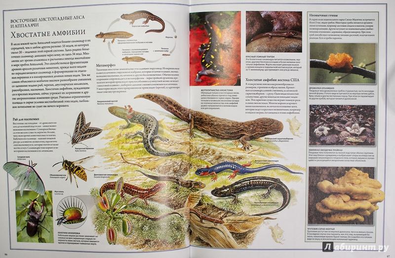 Иллюстрация 11 из 84 для Животный мир. Иллюстрированный атлас - Бамбарадения, Вудрафф, Гинзберг | Лабиринт - книги. Источник: AlexYustas