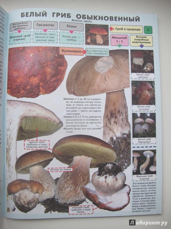 каталог грибов с фото и описанием россии известных