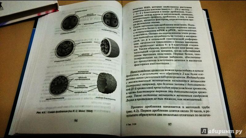 Иллюстрация 15 из 37 для Эмбриология. Учебное пособие - Студеникина, Слука   Лабиринт - книги. Источник: anka46