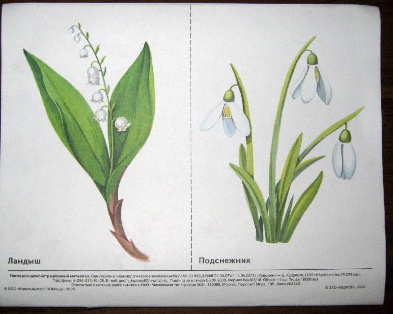 растения красной книги картинки с описанием как рисовать