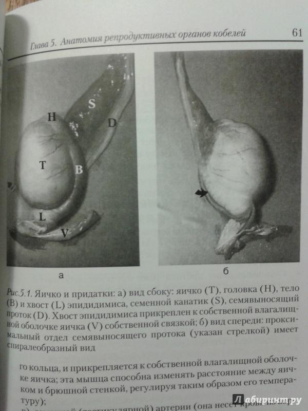 Иллюстрация 5 из 7 для Акушерство и гинекология собак - Гэри Инглэнд | Лабиринт - книги. Источник: Шнурок