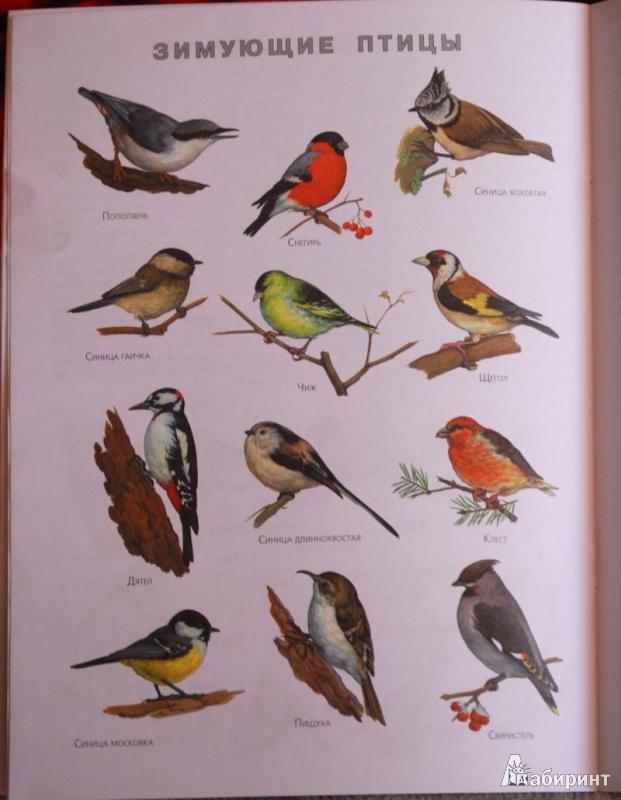 можно птицы беларуси картинки и названия опять можно