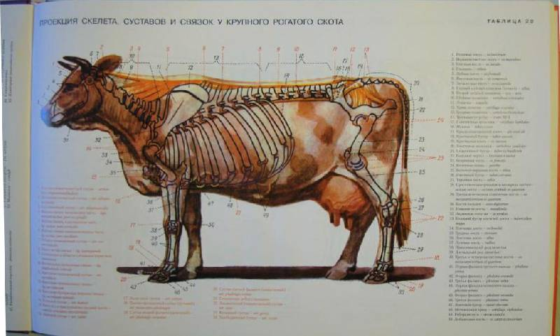 анатомический атлас животных в картинках виде горшка фиалками