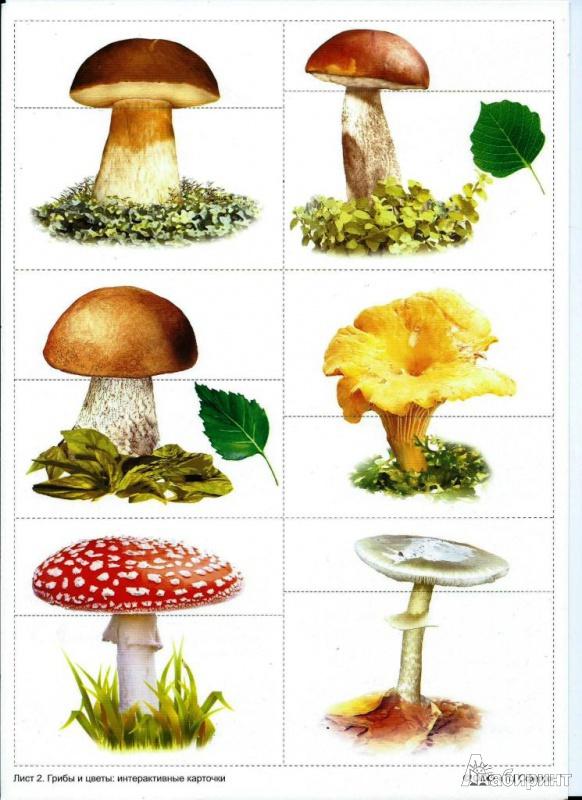 съедобные грибы рисунки может увидеть