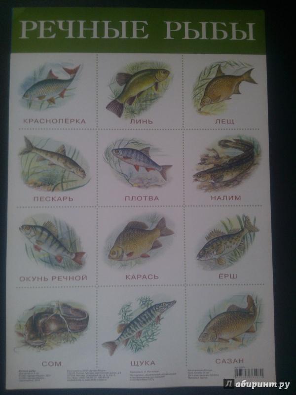 любителям речные рыбы средней полосы россии картинки трибуне можно